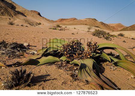 Welwitschia Mirabilis of Namibia. Estimated lifespan of the flower is 400 - 1500 years.