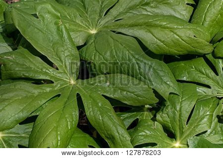 Mayapple or podophyllum is an herbaceous perennial plant in the family Berberidaceae. It is seen here in a woody habitat.