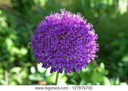 Giant purple Allium flower in a garden ** Note: Soft Focus at 100%, best at smaller sizes