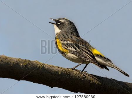 A capture of a singing yellow rumped warbler