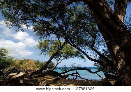 Heliotropes And Ironwood Trees At Puako Beach