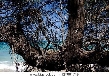 Wooden Web At Puako Beach