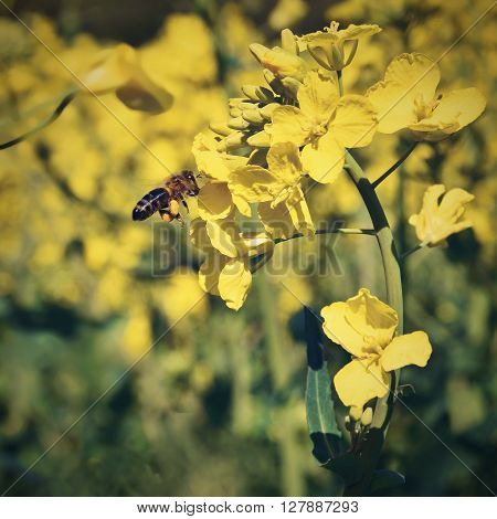 Field With Rape (brassica Napus) (brassica Napus)