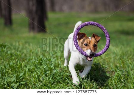 Jack Russell Dog Running With Puller Toy In Green Park