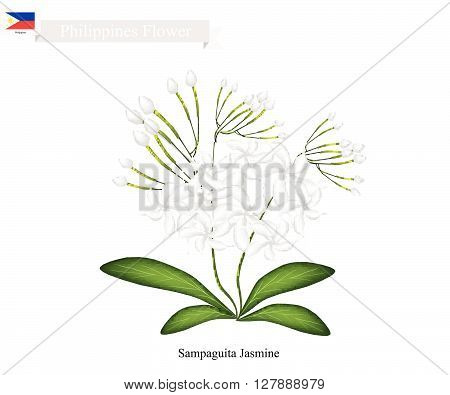 .Philippines Flower Illustration of Sampaguita Jasmine or Arabian Jasmine. The National Flower of Philippines.