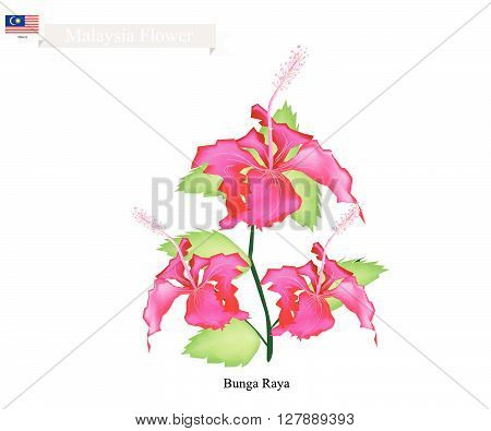 Malaysia Flower Illustration of Bunga Raya or Hibiscus Flowers. The National Flower of Malaysia.