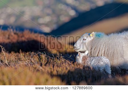 Mountain Sheep with a Little Lamb in Natural Hilly Environment