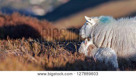 Ewe with Lamb Among Heather Land at Spring