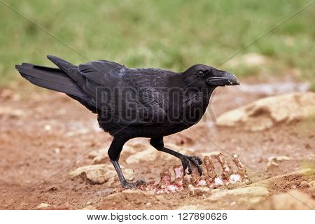 Common raven (Corvus corax) standing on the ground with food