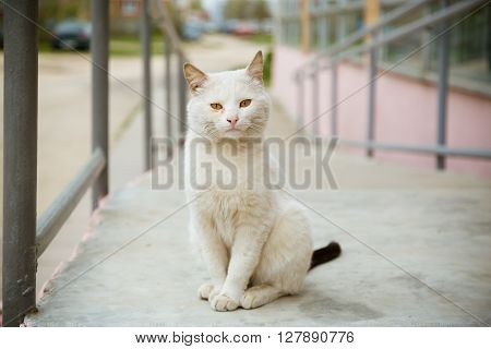 Beautiful white calm cat sitting at the street and looking at camera