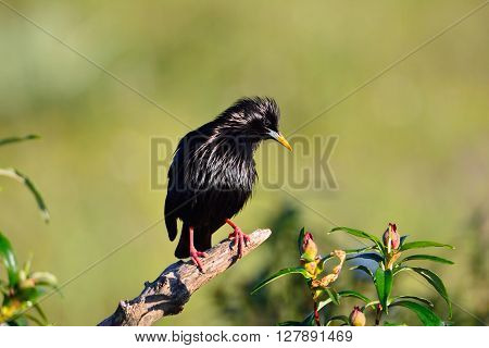 Spotless Starling Perched On A Branch.