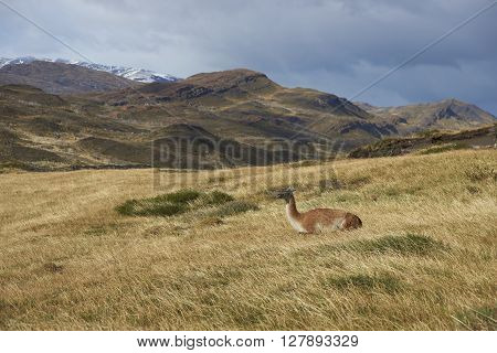 Guanaco (Lama guanicoe) lying amongst the vegetation of Torres del Paine National Park in Patagonia, Chile.