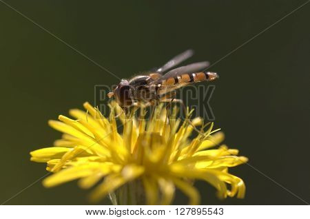 Detail of the syrphid fly on the flower