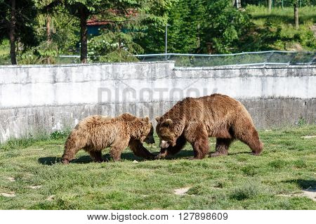 Father bear teaching his son how to fight properly.