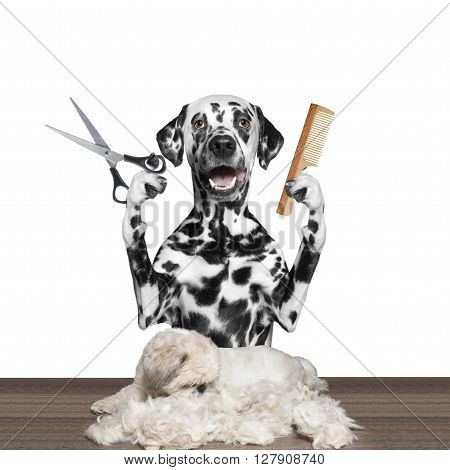 dog doing groomung with scissors and comb -- isolated on white