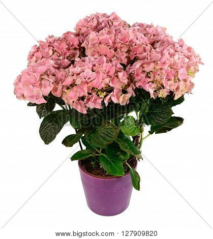 Pink hydrangeas in pot isolated on white.
