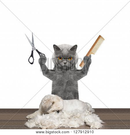 cat doing groomung to dog with scissors and comb -- isolated on white