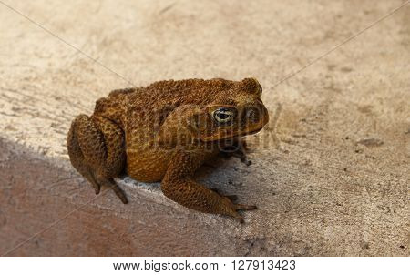 Anuran on grey background, brown tropical toad