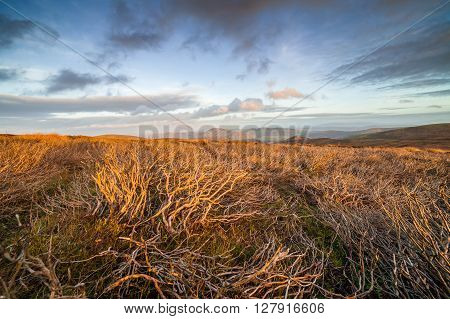 Twisty Heather Branches Hill Flooded in Warm Sunset Light