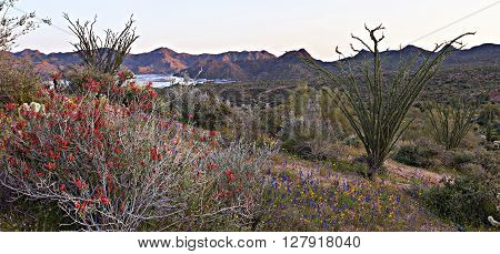 Blooming Chuparosa in Sonoran Desert near Phoenix.