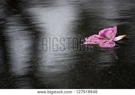 A piece of pink poui flower lying on concrete ground in rain.