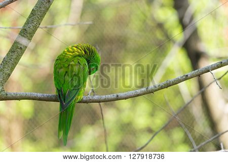 Green parrot on branch. Parrot cleaning itself. Self cleaning parrot on branch. Tree with green parrot.