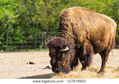 Huge furry Bison. Horned buffalo. Buffalo eating hay. One Bison. One buffalo.