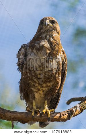 Injured buzzard. Buzzard on branch. Injured wing of buzzard. Sad buzzard on branch.