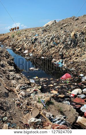 A herd of cows scavenge for food amid hazardous waste and toxic garbage on highly contaminated land at the biggest and most polluted landfill site on the holiday resort island of Bali Indonesia.