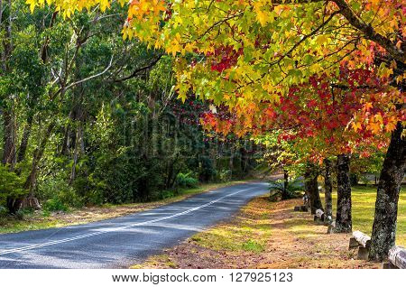 Autumn landscape road with colorful trees on sunny day. Bright and vivid autumn foliage with blurred country road on the background. Selective focus on leaves. Mount Wilson Australia