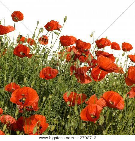 Wild poppies against a white background