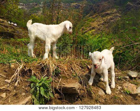 White baby goats in a rural village, trek in Himalaya mountains, nepalese village pets, lovely baby pet, cute white fluffy goats, idyllic village scene, pastoral, Annapurna base camp trekking, Nepal