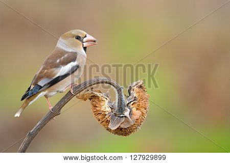 Hawfinch resting on sunflower in nature background