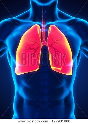 Human Respiratory System Illustration . 3D render