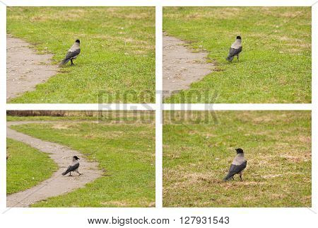 Black crow walks along the trails. Collage.