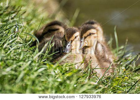 Group Of Mallard Ducklings – Anas Platyrhynchos – Resting In The Green Grass