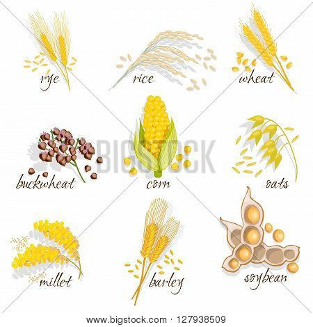 Cereals icon set with rye rice wheat corn oats millet soybean ear of grain vector illustration