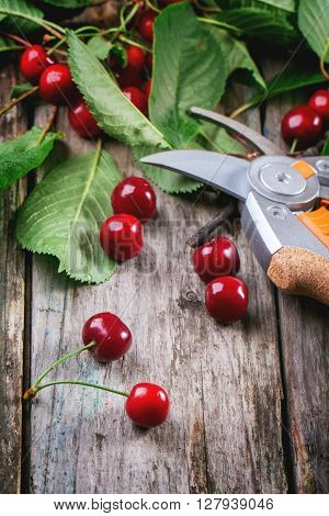 Bunch Of Fresh Cherries With Secateurs