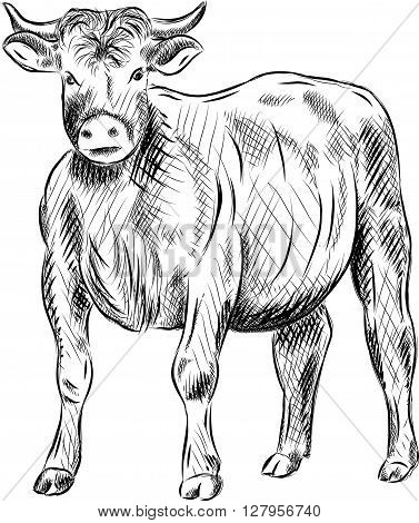 vector bull isolated on the white background