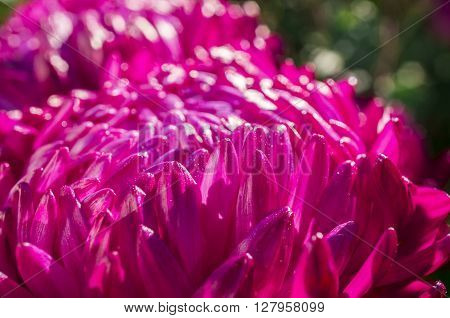 A background with beautiful pink aster petals.