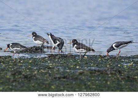 Group of oystercatchers feeding along the shoreline
