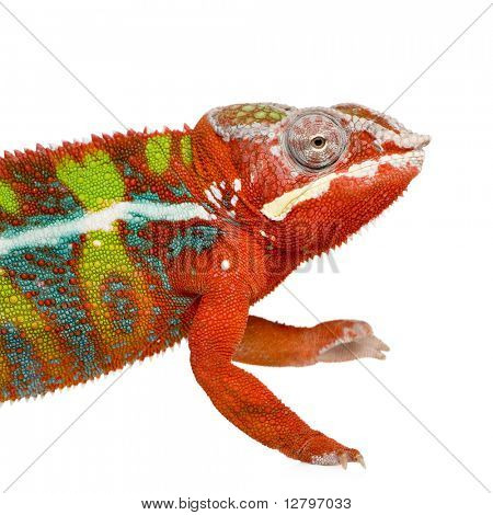 Chameleon Furcifer Pardalis - Ambilobe (18 months) in front of a white background