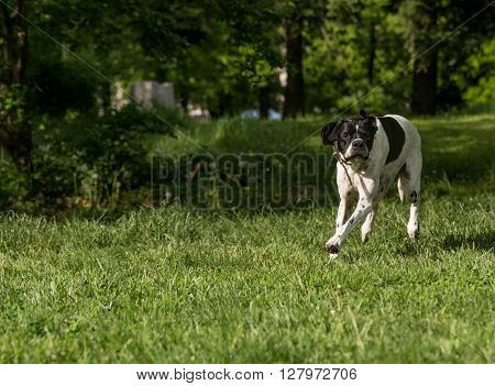 Closeup portrait of Pointer dog Selective focus