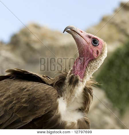 Turkey Vulture - Cathartes aura -  in front of a white background
