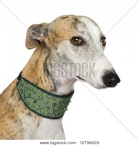 Galgo Espanol (4 years) in front of a white background