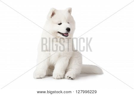 Seven months old Samoyed puppy dog isolated on white