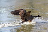 canada goose coming down on calm water poster
