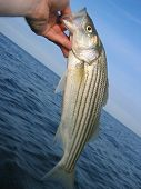 a southern maine striped bass. it's a young fish or schoolie caught while flyfishing in the early season poster