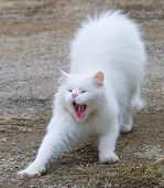 White fluffy cat is photographed during time a yawn poster