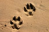 a close up of dog paw prints in the beach sand poster